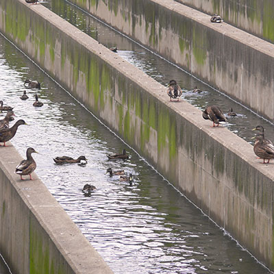 ducks float in a Chlorine Contact Tank